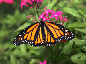 Monarch butterflies like this one, seen here on a pentas plant on the new coastal habitat trail, are some of the many colorful aspects of natural Florida you'll see.