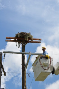 Winter Haven Lineman Ralph Snearly, pictured here, submitted a proposal through TECO's Continuous Improvement program to build new avian nesting platforms out of composite materials.