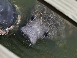 Just another friendly face at Tampa Electric's Manatee Viewing Center, ready to celebrate our 30th anniversary and 5 millionth visitor.