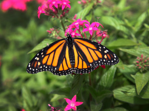The magnificent monarch butterfly.