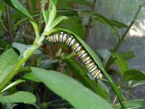 This monarch caterpillar is a young resident of Tampa Electric's Manatee Viewing Center.