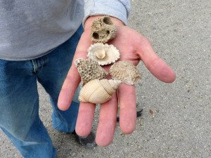 Stan Kroh with a sample of interesting shells the group came across.