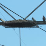 A young bald eagle perches beside a nest that needs to be moved. If you see a nest near electrical wires like this, let us know about it by going to the Contact Us section of this website.